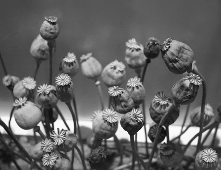 opiate: selective focus of dry opium flowers ,Poppy plant. Stock Photo