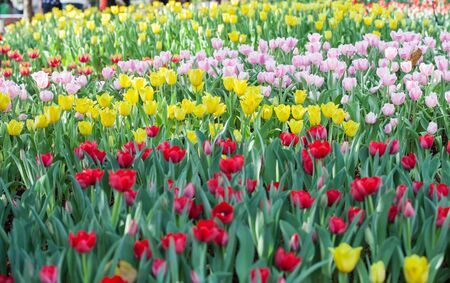 colorful of tulips flowers field .selective focus.