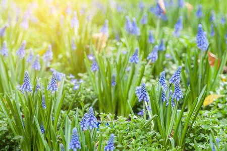 hyacinth: Grape hyacinth in spring Stock Photo