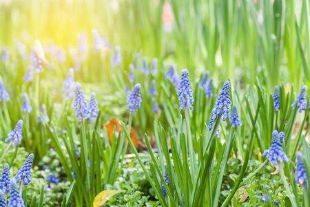 Grape hyacinth in spring Stock Photo