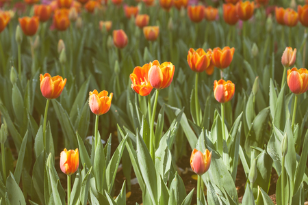 tulipan: colorful of tulips flowers field .selective focus.