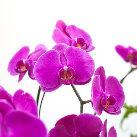 orchidea: Close-up of beautiful vibrant pink orchid