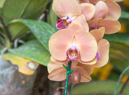orchideae: Close up of yellow orchid Stock Photo