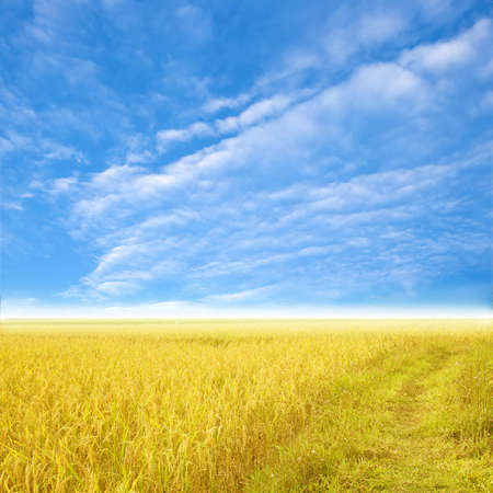 filed: Blue sky and a rice filed