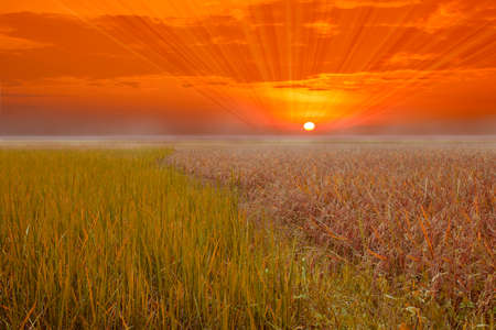 filed: Sunset sky and a rice filed