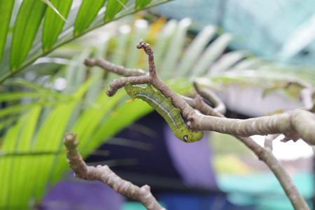 green worm or caterpillar on tree branch