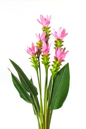 Curcuma zanthorrhiza flower on white background. Stock Photo