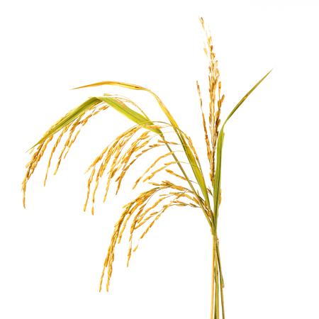 Golden rice stalk on white background