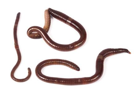 Earthworms on white background Stock Photo