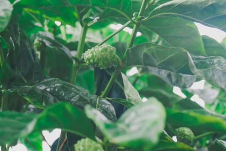 Fruta fresca de Noni en árbol en el jardín.