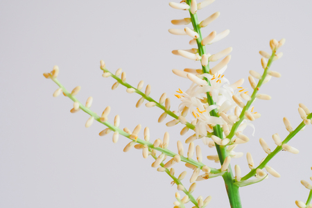 Bromeliad or Aechmea fasciata tropical flowers . Stock Photo
