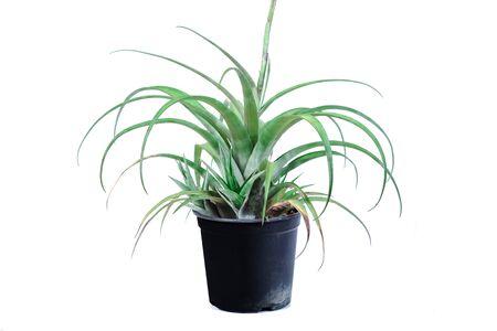 Air plant, Tillandsia ionantha are low-maintenance plants that require no soil on white. Reklamní fotografie