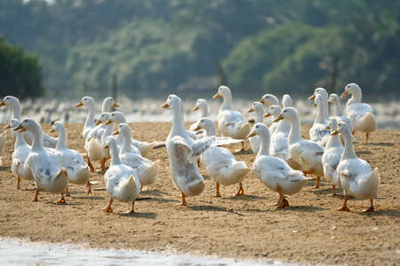 duck in farm Stock Photo - 7803325