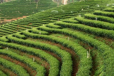 pattern of  tea garden