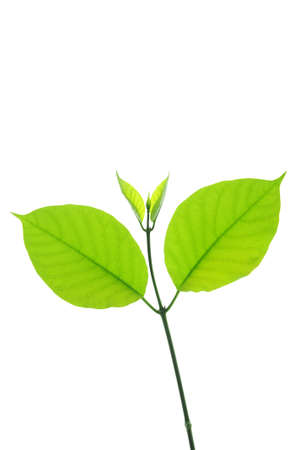 feuilles fra�ches de th� vert isol� sur fond blanc