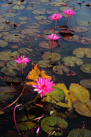 fleur de lotus rose floraison � l'�t�