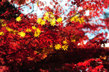 Japanese maple during autumn at Eikando Temple in Kyoto, Japan. Stock Photo - 25309469
