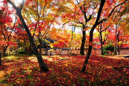 Japanese maple during autumn at Eikando Temple in Kyoto, Japan. photo