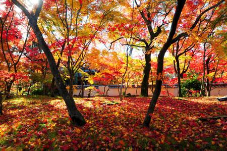 Japanese maple during autumn at Eikando Temple in Kyoto, Japan. Stock Photo - 25309482