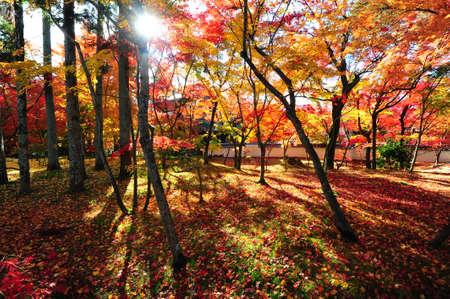 Japanese maple during autumn at Eikando Temple in Kyoto, Japan. Stock Photo - 25309484