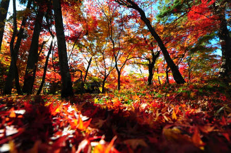 japanese maples: Japanese maple during autumn at Eikando Temple in Kyoto, Japan.