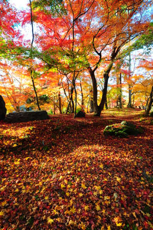 Japanese maple during autumn at Eikando Temple in Kyoto, Japan. Stock Photo - 25309495
