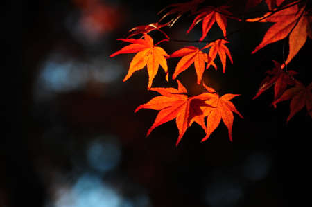 Japanese maple during autumn  Kyoto, Japan. Stock Photo - 25309509