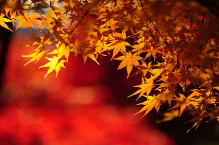 Japanese maple during autumn in Kyoto, Japan. Stock Photo - 25309510