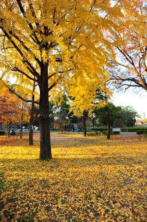 a lot of ginkgo on the ground in autumn photo