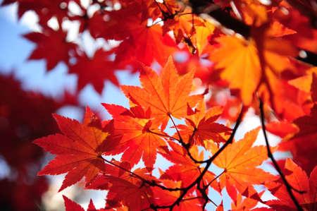 Belles feuilles d'automne color�