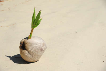 Sprout of coconut tree on sand Stock Photo