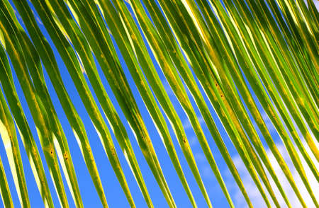 Close up Green palm tree on blue sky background Stock Photo