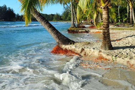 Coconut tree stump with root clump washed up on the beach