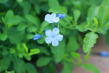 auriculata: Plumbago auriculata Lam Flower   leadworth flower