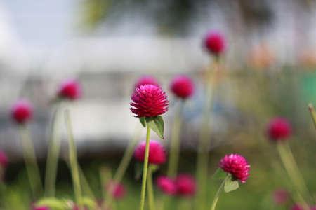 globosa: Globe amaranth or Gomphrena globosa
