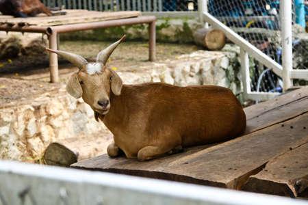 pygmy goat: Goat in zoo Thailand