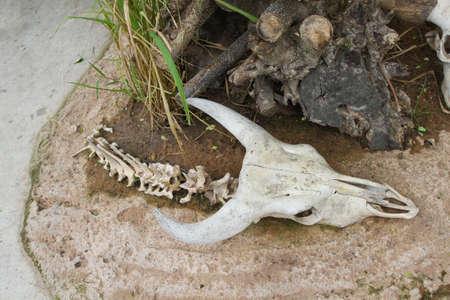 karkas: Karkas hoofd schedel van de stier Stockfoto