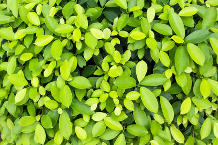 ficus: Alkaline ficus leaves (Ficus benjamina L.)