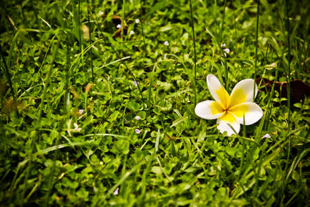 Plumeria white flowers on grass background. photo