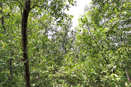 mangrove: mangrove plant , mangrove forest
