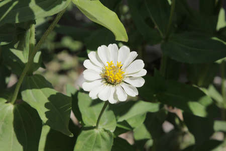 Zinnia flower,Zinnia flower in full bloom, photo