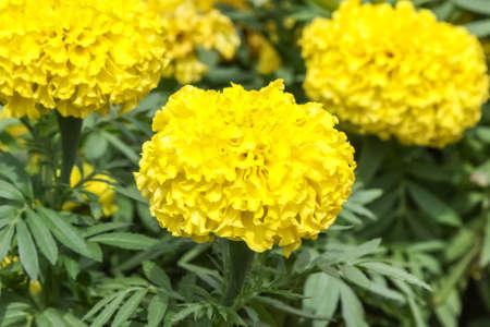 garden marigold: Yellow marigold flower in the garden,Yellow Marigold flower Stock Photo