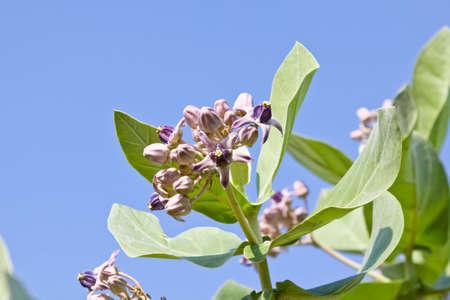 gigantea: Purple crown flower blooming on the tree. Calotropis gigantea