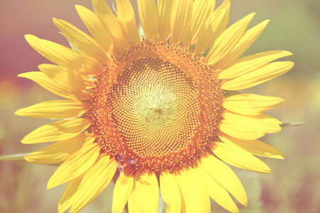 Sun flower: sun flower on sun flower field.,Sun Flower.