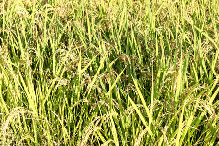ripening: Ripening rice in a paddy field., Green rice plant. Stock Photo