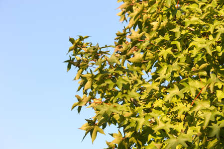 changed: blur of maple leaf with clear blue sky., three maple leaves have changed color in fall.