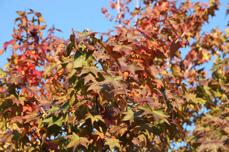 changed: maple leaf with clear blue sky., three maple leaves have changed color in fall.