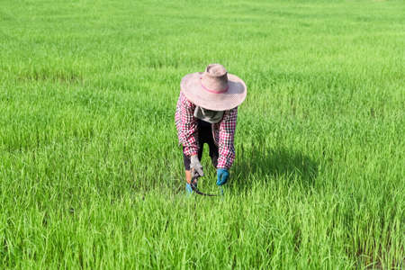 paddy: Farmer working at green rice field.,Farmer in paddy fields.