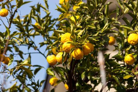 sanguijuela: Leech cal o bergamota frutos que cuelgan en su �rbol Foto de archivo