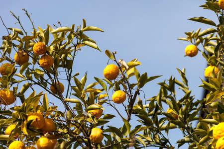 leech: Leech lime or Bergamot fruits hanging on its tree